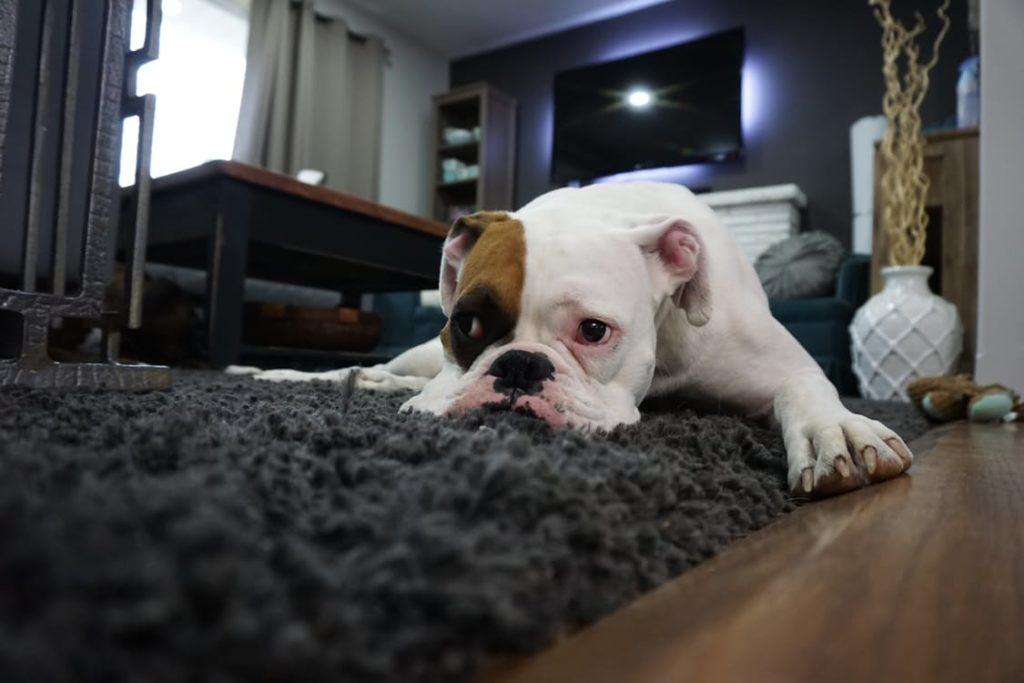 Door Knocking article - sad pupper