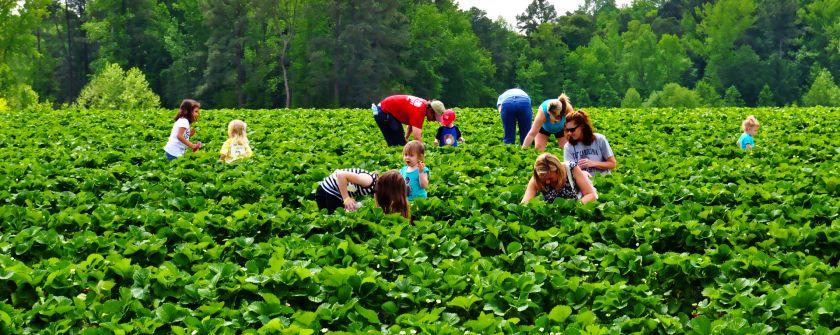 people harvesting vegetable from farm