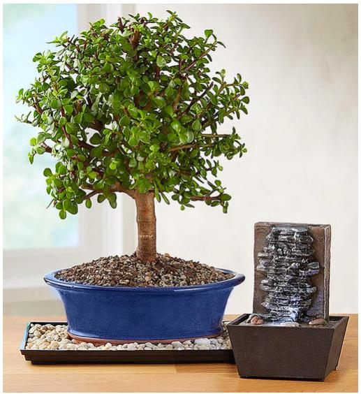 1800Flowers Dwarf jade bonsai