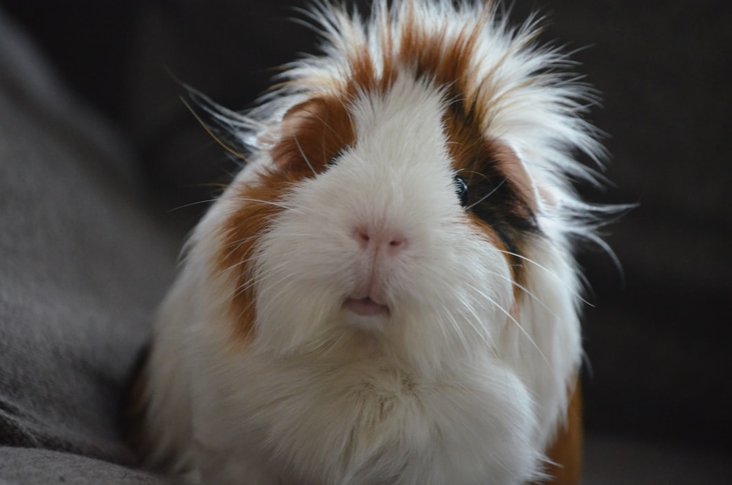 a white, brown, and black guinea pig