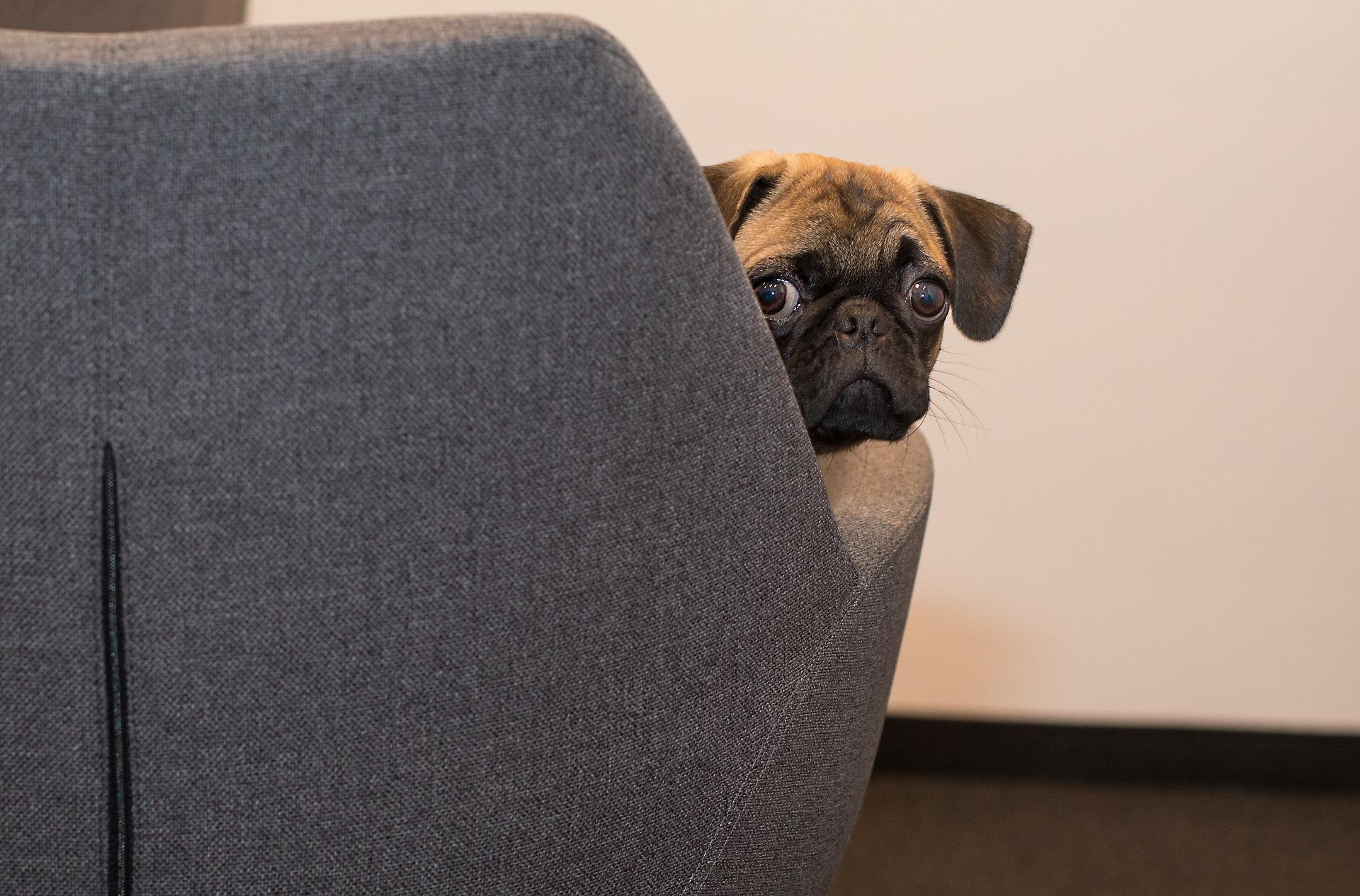 cute dog hiding behind a sofa