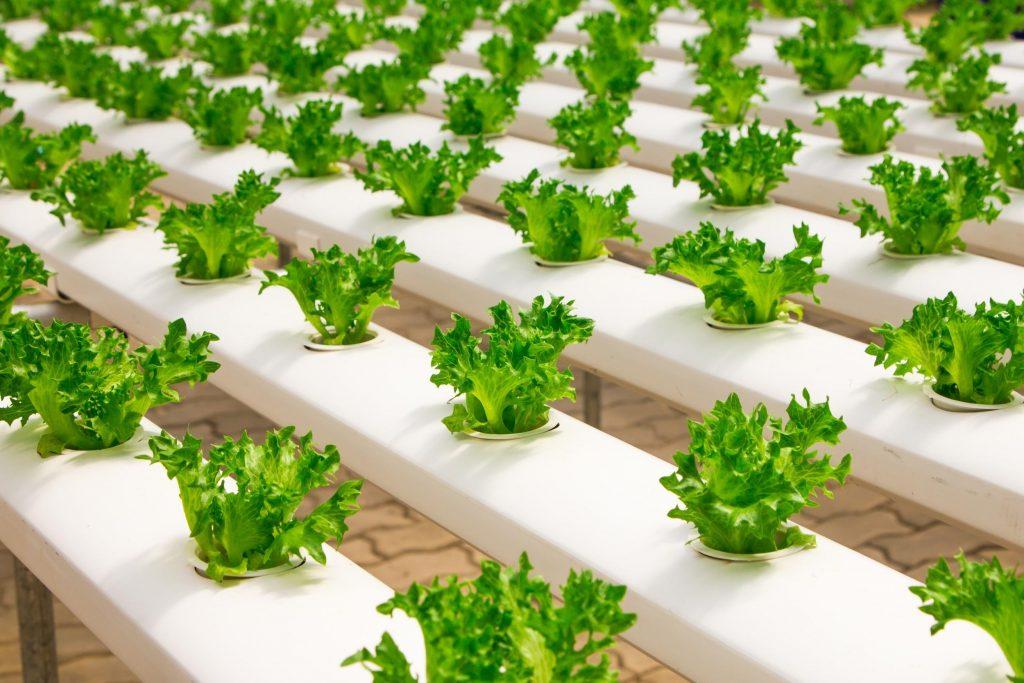 modern lettuce farm