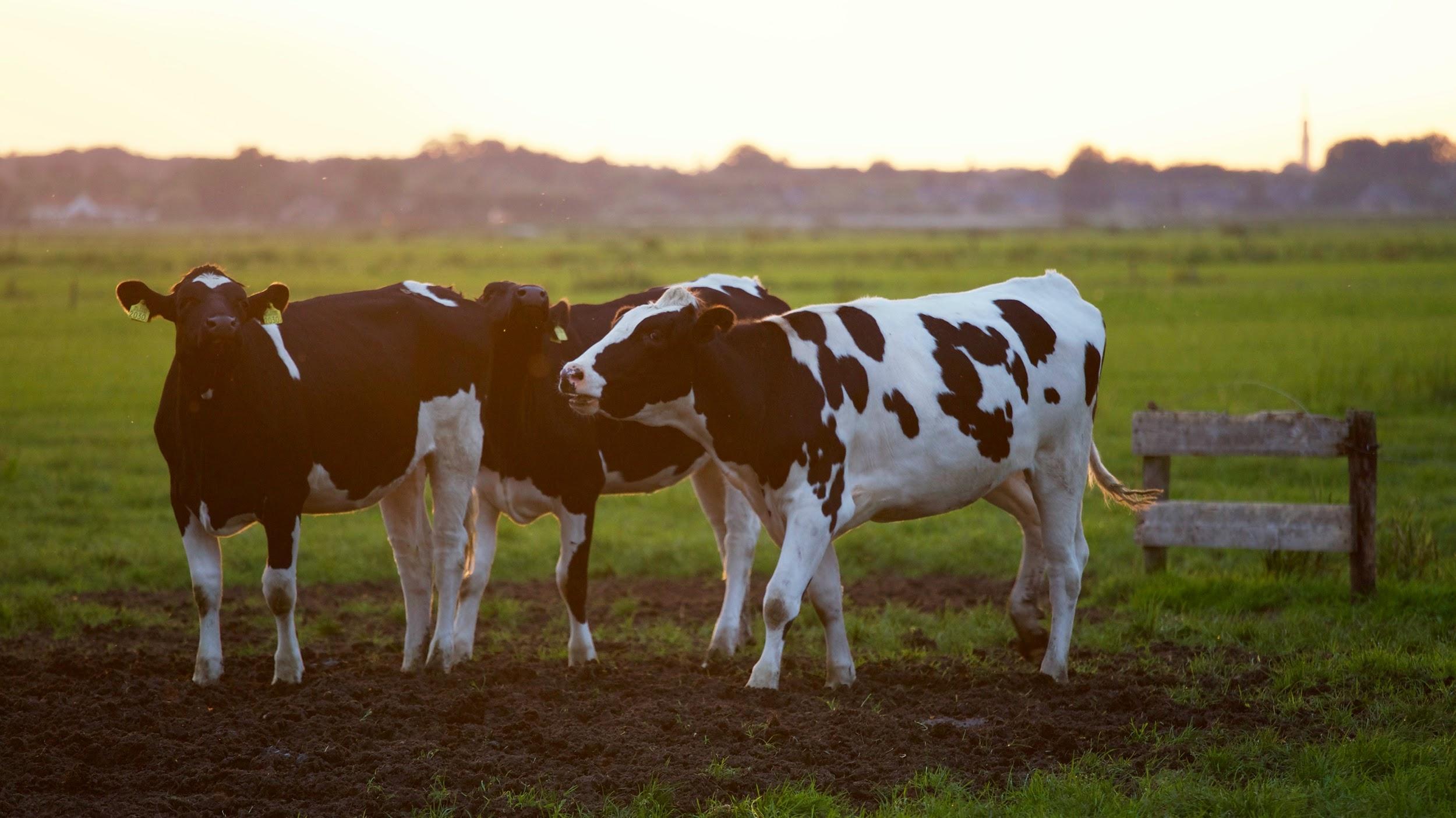 three cows in the wide farm