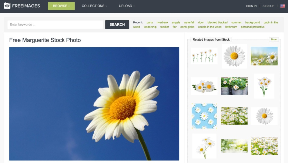 Screenshot of Free Marguerite Stock Photo by FreeImages